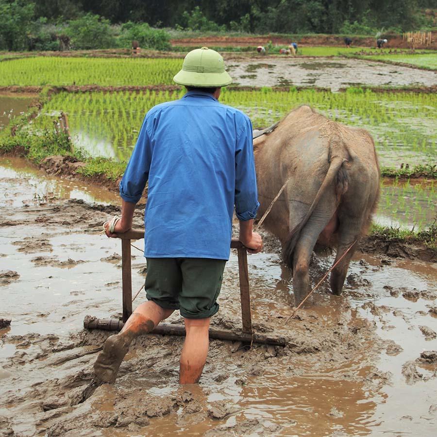 vietnam mai chau plantation