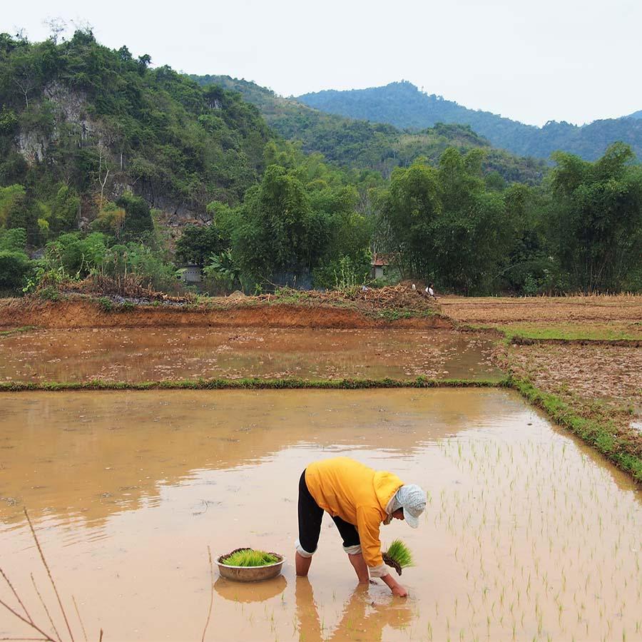vietnam mai chau recolte